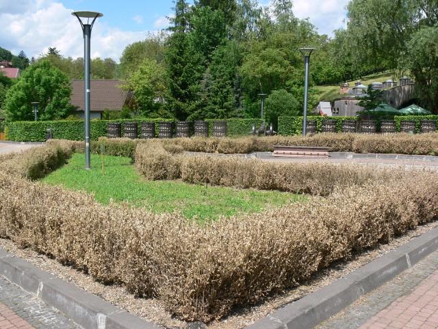 Ćma bukszpanowa - cydalima perspectalis spustoszyła zielony skwer na Placu Rawelin, na Dolnym Podwalu, w Sandomierzu. Kilkadziesiąt krzewów bukszpanu zmieniło wygląd z pięknie zielonego skweru na brązowe, suche krzewy z poskręcanymi liśćmi.