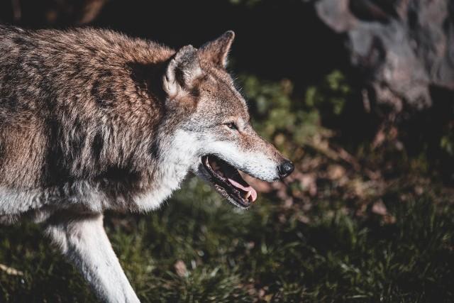 Specjalistyczne ogrodzenia mają chronić inwentarz przed atakami wilków.