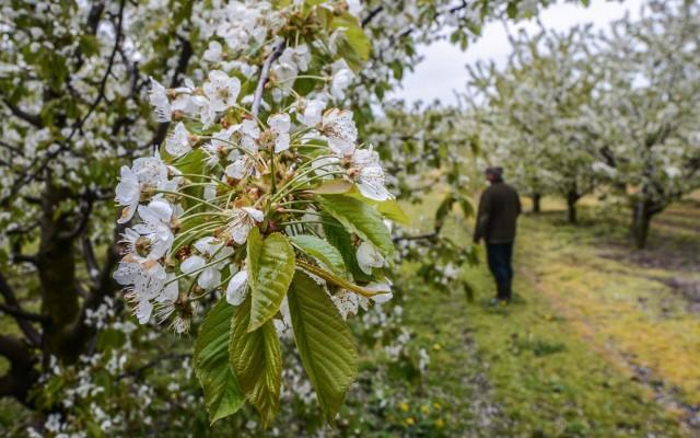Szczególnie narażone na przymrozki są drzewa owocowe. Mróz potrafi zniszczyć kwiaty i zawiązki owoców.
