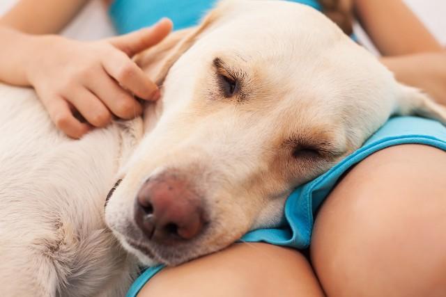 Słodkie oczy, miękka sierść i przyjazne usposobienie – kto nie ulegnie urokowi psa? Czworonożni towarzysze oferują nam swoją uwagę, empatię i towarzystwo, przez co szczególnie dobrze sprawdzają się w roli terapeuty. Choć nawet niepozorny mieszaniec może mieć zbawienny wpływ na psychikę, w dogoterapii biorą udział psy rasowe, bo w ich przypadku można mówić o przewidywalnych cech temperamentu i usposobienia. Należy przy tym pamiętać, że charakter psa tylko do pewnego stopnia jest cechą wrodzoną – w większości przypadków decyduje o nim odpowiednie wychowanie. Rasy psów uważanych za niebezpieczne to często również rasy o najlepszym wpływie na człowieka. Odpowiedni trening zachowania, a zwłaszcza hierarchii w stadzie w jego młodym wieku, to rzecz niezbędna i wcale niewymagająca użycia siły.  Zobacz, do jakich ras najczęściej należą psy najbardziej oddane służbie ludziom.