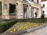 W Sandomierzu zostanie posadzonych 4 tysiące bratków. Pierwsze kwiaty już zdobią rabaty. Zobaczcie zdjęcia