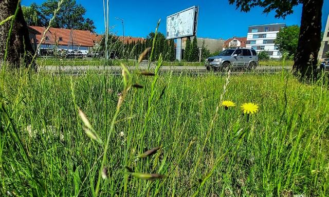 - Może to było zaplanowane  i tak ma być? - zastanawiają się mieszkańcy Koszalina, widząc zarośnięte trawniki, pobocza, ronda w całym mieście.