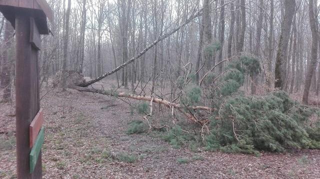 """W lasach Podkarpacia trwa porządkowanie po wiosennych wichurach, które wyrządziły sporo szkód w drzewostanach. Również w podkrośnieńskiej Dębinie dobiega końca uprzątanie drzew powalonych i zagrażających spacerowiczom.- Niedawna wichura powaliła kilka drzew z korzeniami, a kilka złamała wprost na ścieżki uczęszczane przez ludzi. Te ścieżki są już udrożnione – mówi Zbigniew Żywiec, nadleśniczy Nadleśnictwa Dukla. - Uprzątnęliśmy też drzewa z połamanymi gałęziami, które mogły stanowić zagrożenie dla licznie spacerujących i biegaczy, którzy szlifują tu swoją formę startową.Ustawione zostały nowe, estetyczne tablice informacyjne. Przypominają o statusie Parku Leśnego """"Dębina"""" i zasadach zachowania w nim, pełnią też funkcję edukacyjną. Leśny parking ma również nowe ogrodzenie i utwardzoną nawierzchnię. Na przyszłą środę (24 kwietnia) zaplanowane jest sprzątanie Dębiny zainicjowane przez biegaczy z klubu Dzikie Życie RunTeam, którzy po raz kolejny będą zbierać śmieci pozostawione przez odwiedzających las. Początek akcji o godz. 16.45"""