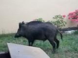 Czytelnik: Dziki zawitały do mojego ogrodu! Można je spotkać niemalże w każdej części Zielonej Góry