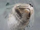Martwa foka na kołobrzeskiej plaży