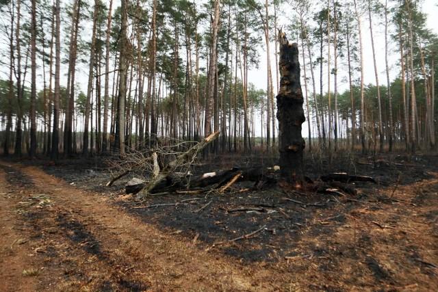 W środę, 9 czerwca po godzinie 13 wolsztyńska straż pożarna została zaalarmowana do pożaru lasu w Kaszczorze. Na miejsce wysłano liczne zastępy straży pożarnej.