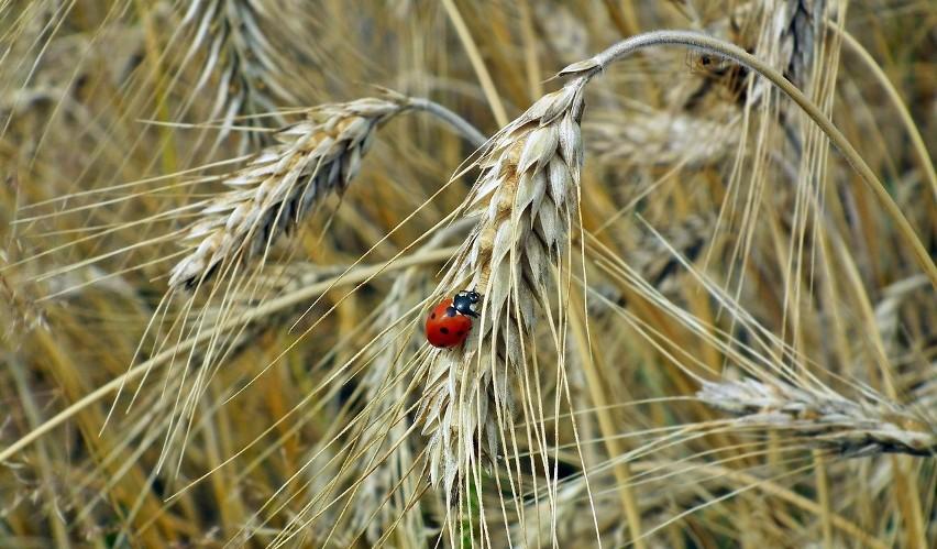 Mapa szkodników w uprawach coraz popularniejsza. Platforma Sygnalizacji Agrofagów podpowiada zabiegi