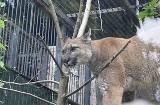 Puma Nubia kończy kwarantannę w chorzowskim zoo. Co dalej stanie się z tym drapieżnikiem?