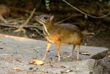 W warszawskim zoo pojawił się nowy mieszkaniec. Jest to kanczyl jawajski, który znany jest także pod nazwą myszojeleń