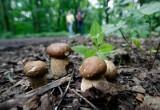 Mapa grzybów. W których lasach rosną grzyby? Gdzie najlepiej szukać grzybów w województwie łódzkim? Najlepsze miejsca na grzyby 24.09.2021