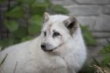 Sąd w Kościanie uniewinnił hodowcę lisów. Zwierzęta z fermy, uratowane przez aktywistów Stowarzyszenia Otwarte Klatki, miały urwane kończyny