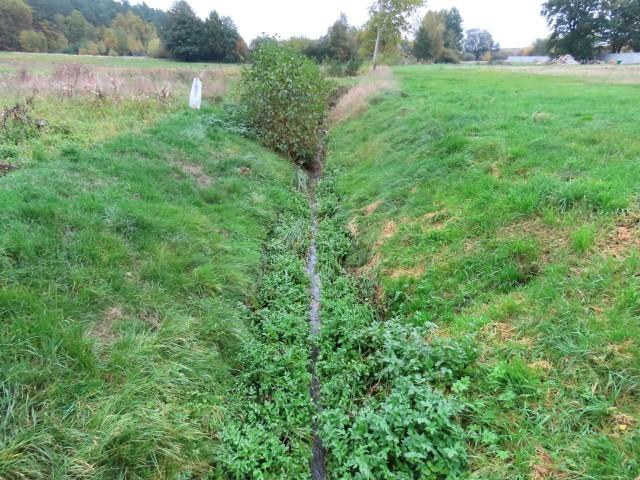 Wyobraźcie sobie, że ta roślina w Polsce rośnie tylko w tym rowie...