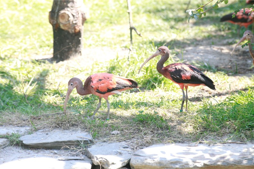 Ibisy w opolskim ogrodzie zoologicznym