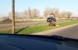 Na pasie zieleni na al. Witosa w Lublinie leżał ranny łoś. Zwierzę nie przeżyło