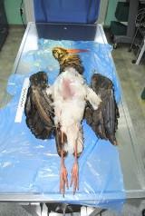 Leśnicy znaleźli martwego bociana czarnego. Zabili go kłusownicy?