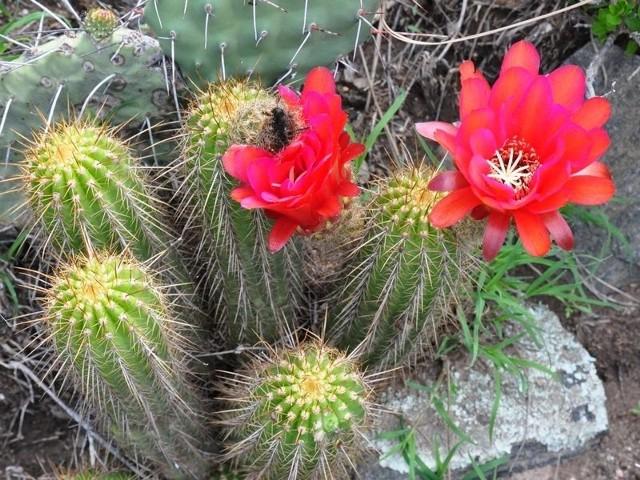 Lobivia grandiflora. Kaktusiarze lubią nie tylko hodować te rośliny w domowym zaciszu, ale także oglądać je w stanie naturalnym.