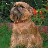 Gryfonik - pies kanapowiec