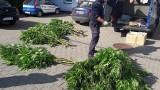 Zlikwidowana plantacja konopi i linia produkcyjna do wyrobu dopalaczy! [zdjęcia]