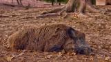 Coraz więcej potwierdzonych przypadków ASF u martwych dzików znalezionych w Wielkopolsce