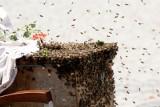 Agresywne pszczoły atakują na Brochowie [FILM]