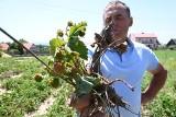 Dramat plantatorów z podkieleckich Bielin. Truskawki gotują się na polach. Będą ogromne straty (WIDEO, ZDJĘCIA)
