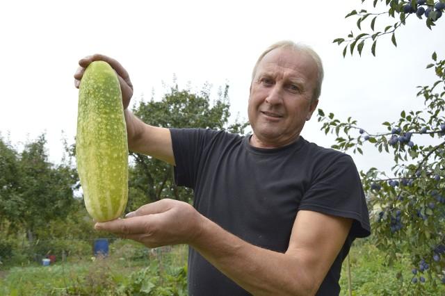 - Póki mam siłę, by dbać o działkę, to jej nie sprzedam - mówi Stanisław Banak i z dumą prezentuje swojego ogórka - giganta