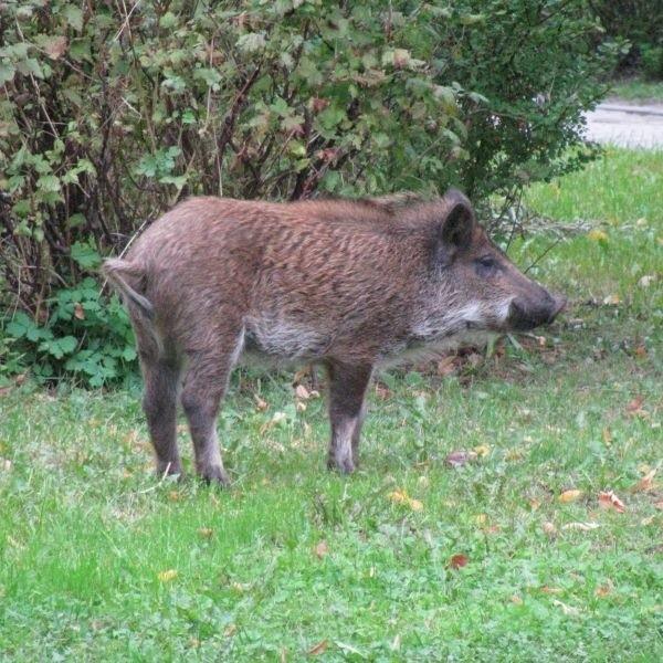 Dzik biegający po ulicach wystraszyl dzisiaj mieszkanców Dziesiecin w Bialymstoku. Zauwazono go na ul. Gajowej. Strazakom udalo sie zlapac zwierze na ul. Palmowej