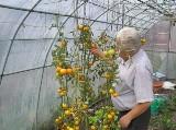 Wyjątkowe pomidory z Księżego Młyna
