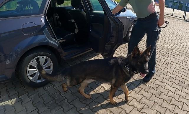 Kenzo to pierwszy pies podkarpackiej KAS wyszkolony w wyszukiwaniu zwierząt i roślin zagrożonych wyginięciem.