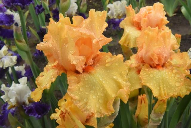 Warto w swoim ogrodzie gromadzić deszczówkę, by to właśnie nią podlewać swoje rośliny.