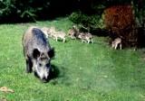 Szczecińskie dziki mogą spać spokojnie. Nawet po odłowieniu nie wyjadą z miasta