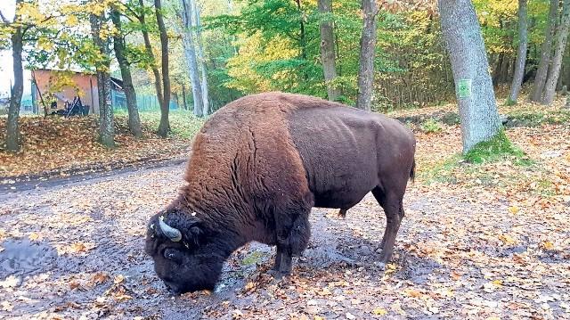 """To nie żubry, a bizony w ostatnich dniach można było spotkać na koszalińskim osiedlu Lubiatowo. Dziś  z całej czwórki został jeszcze samiec, czyli byk, głowa 4-osobowej rodziny pochodzącej z pobliskiej wioski indiańskiej. Mieszkańcy Koszalina zaczęli traktować te chodzące luzem po osiedlu zwierzęta niczym atrakcję przyrodniczą. Wielu skorzystało z okazji, by zrobić sobie z nimi zdjęcia, a następnie pochwalić się nimi w internecie, komentując, że spotkali w Koszalinie żubra, bądź żubry. Wyjaśniamy więc, że to nie żubry, a bizony. Te same, które jeszcze kilka lat temu stanowiły atrakcję pobliskiej wioski indiańskiej. A trafiły tu (a dokładniej para rodziców) z gospodarstwa Lepperów spod Darłowa. """"Indiański Świat"""" - jak nazywano wioskę - był miejscem spotkań m.in. z udziałem dzieci ze szkół i przedszkoli. Tu m. in. w 2002 roku odbył się Ogólnopolski Zlot Przyjaciół Indian,  gdy ponad 500 indianistów rozbiło tu 100 indiańskich tipi. W 2012 """"Głos"""" był na miejscu tuż po narodzinach małego bizona. - W 2016 roku właściciel zawiesił działalność - informuje Robert Grabowski, rzecznik koszalińskiego ratusza. - Nasz wydział ochrony środowiska jest z nim w stałym kontakcie. Te cztery bizony, które można było spotkań na osiedlu, one uciekły z wioski indiańskiej. Właścicielowi udało się do tej pory trzy z nich uśpić na potrzebę przewiezienia w nowe miejsce i przetransportować je do gospodarstwa agroturystycznego Ul w Złocieńcu. Czwarty bizon przebywa nadal w Koszalinie, on także w najbliższym czasie zostanie uśpiony  i przewieziony do zagrody  w Złocieńcu.  Nie jest groźny, ale nie należy się do niego zbliżać, a tym bardziej karmić czy głaskać. Zobacz także: Koszalin: Bicie rekordu w tańcu"""