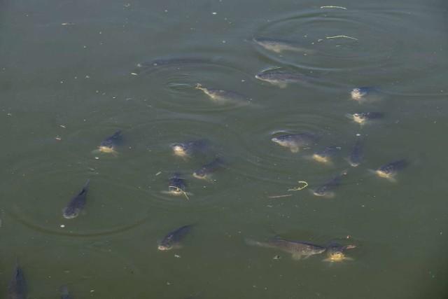 Całe mnóstwo ryb pływa obecnie w Jeziorze Maltańskim. Dla amatorów wędkarstwa to nie lada gratka, ale muszą obejść się smakiem, bo zbiornik na Malcie objęty jest całkowitym zakazem połowu ryb. Za wędkowanie tutaj grozi kara, o czym niektórzy mogli przekonać się na własnej skórze.