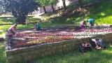 Chełmno. Pracownicy zieleni miejskiej sadzą kwiaty w Chełmnie. Powstają dywany kwiatowe. Zdjęcia