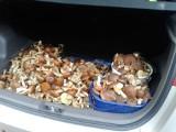 Zdjęcia z grzybobrania. Takie okazy zebrali grzybiarze na grzybobraniu! Rydze, koźlaki, prawdziwki, zajączki, podgrzybki, maślaki 21.10.2021
