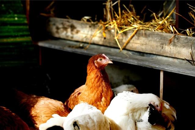 Ptasia grypa znów atakujePtasia grypa znów atakuje