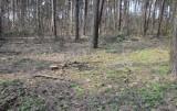 Białystok. Leśnicy wycinają drzewa w lesie na Pieczurkach. Mieszkańcy dzielnicy są zaniepokojeni, że zniknie jedyny teren dzikiej przyrody
