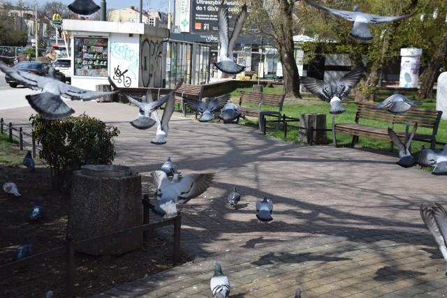 W jednej chwili na skwerze 31 Sierpnia 1982 potrafi przebywać co najmniej kilkadziesiąt gołębi.