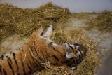 Tygrysy na granicy w Koroszynie. Tymczasowy areszt dla Rosjanina, który odpowiada za transport zwierząt