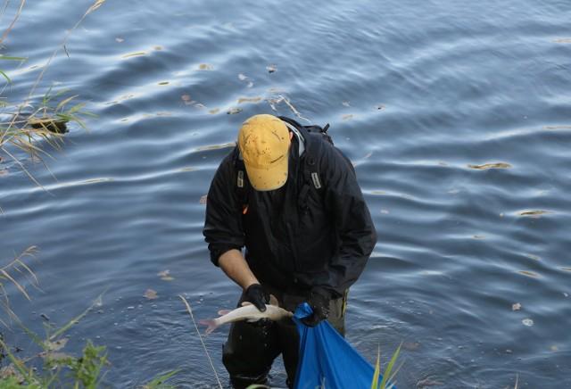 Wędkarze na własny koszt, z własnej woli i inicjatywy wyławiają śnięte ryby i przekazują je do spalarni