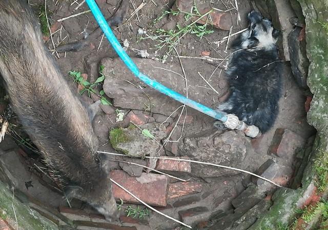 Studnia w Nowej Wsi, a w niej... dzik i pies w nie najgorszej komitywie