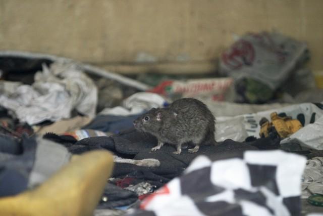 Śmieci w Poznaniu: Miastu grozi plaga szczurów