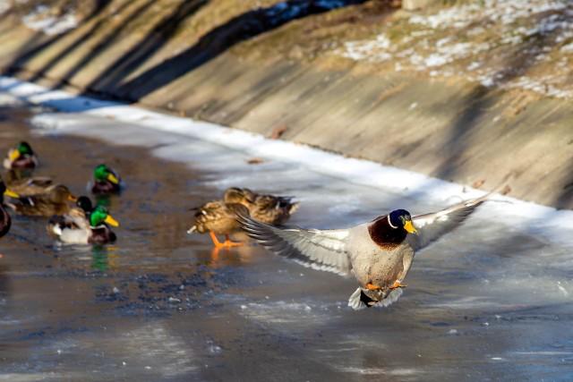 Ciężki los białostockich kaczek w te mrozy poruszył naszą Czytelniczkę. Wysłała do magistratu list, by urzędnicy zadbali o głodujące - jej zdaniem - ptaki.Na Podlasie przyleciały żurawie. Mróz będzie coraz większy, nie wiadomo czy ptaki przeżyją [WIDEO]Rekordy pogodowe na Podlasiu. - 38,4 °C w Białymstoku to nie rekord (zdjęcia)Kiedyś to były zimy! Zimowe archiwum z lat 2006-2013. Zobacz, jak wyglądały zimy w Białymstoku [ZDJĘCIA]