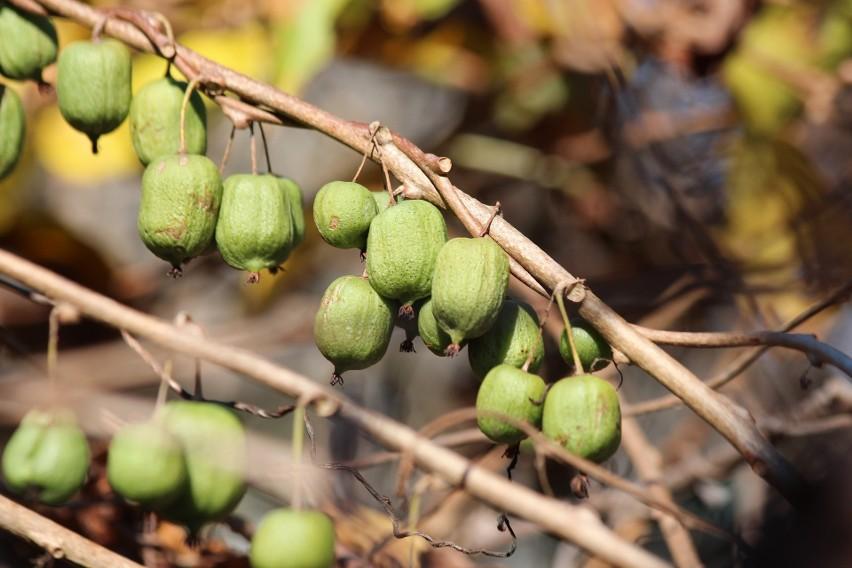 Aktinidia jest też nazywana mini kiwi. To ładne pnącze,...
