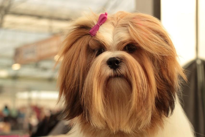 Lhasa apso to psy o łagodnym usposobieniu i zrównoważonym...