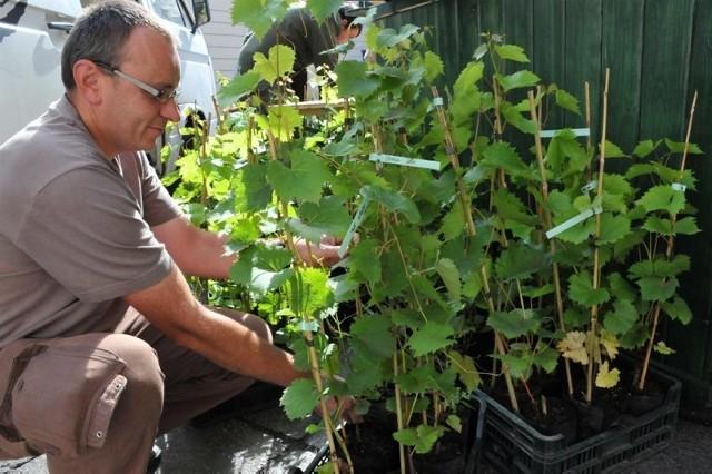 Robert Koziarski przywiózł ze sobą wiele tegorocznych sadzonek różnych gatunków winnej latorośli