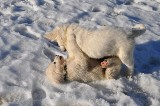 Owczarki podhalańskie będą chronić gospodarstwa przed wilkami w Lubuskiem. Zostały przekazane hodowcom