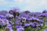 Fioletowy cud natury, który doceniają rolnicy, pszczoły i fotografowie. Co roku kwitnące pola tej rośliny wzbudzają prawdziwy zachwyt