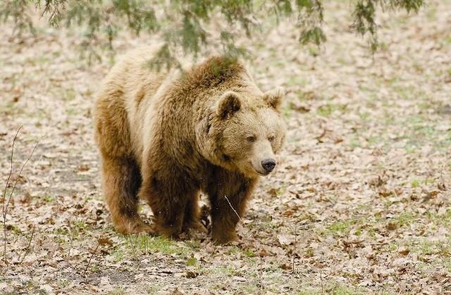 Iwo - tatrzański niedźwiedź - nosi na sobie obrożę z GPS-em