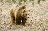 Niedźwiedź poszedł na baciarkę